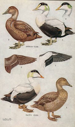 The ducks, geese and swans of North America: a vade mecum for the naturalist and the sportsman.