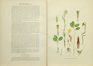 Orchids of Australia, drawn in natural colour by W. H. Nicholls with descriptive text, four parts [all published].