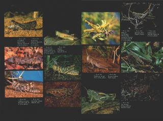 Grasshopper country: the abundant Orthopteroid insects of Australia.